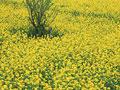 ナノハナ畑の写真