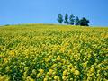 カラシナ畑の写真