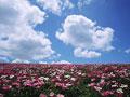 シャクヤク畑の写真