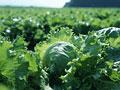 レタス畑の写真