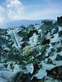 ブロッコリー畑の写真