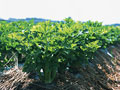 セロリ畑の写真