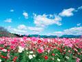 コスモス畑の写真
