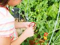 トマトの観察をする小学生の写真
