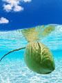 海中のヤシの実の写真