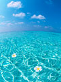 海に浮かぶプルメリアの写真
