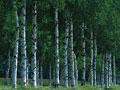 シラカバ並木の写真