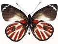 ゼブラカザリシロチョウの写真