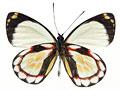 ナカキワモンカザリシロチョウの写真