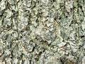 イチョウの樹皮の写真