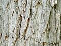 ニセアカシアの樹皮の写真