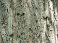 クリの樹皮の写真