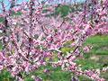 リンゴの花の写真