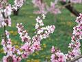 モモの花の写真