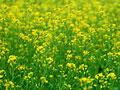 菜の花畑の写真