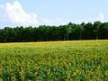 ヒマワリ畑の写真