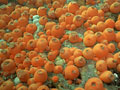ヒダベリイソギンチャクの写真
