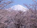 サクラと富士山の写真