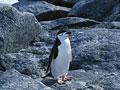 ヒゲペンギンの写真