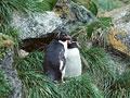 イワトビペンギンの写真