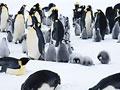 コウテイペンギンの写真