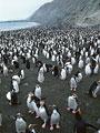 ロイヤルペンギンの写真