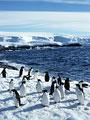 アデリーペンギンの写真