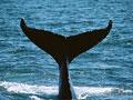 ザトウクジラの写真