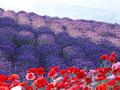 ラベンダー畑の写真